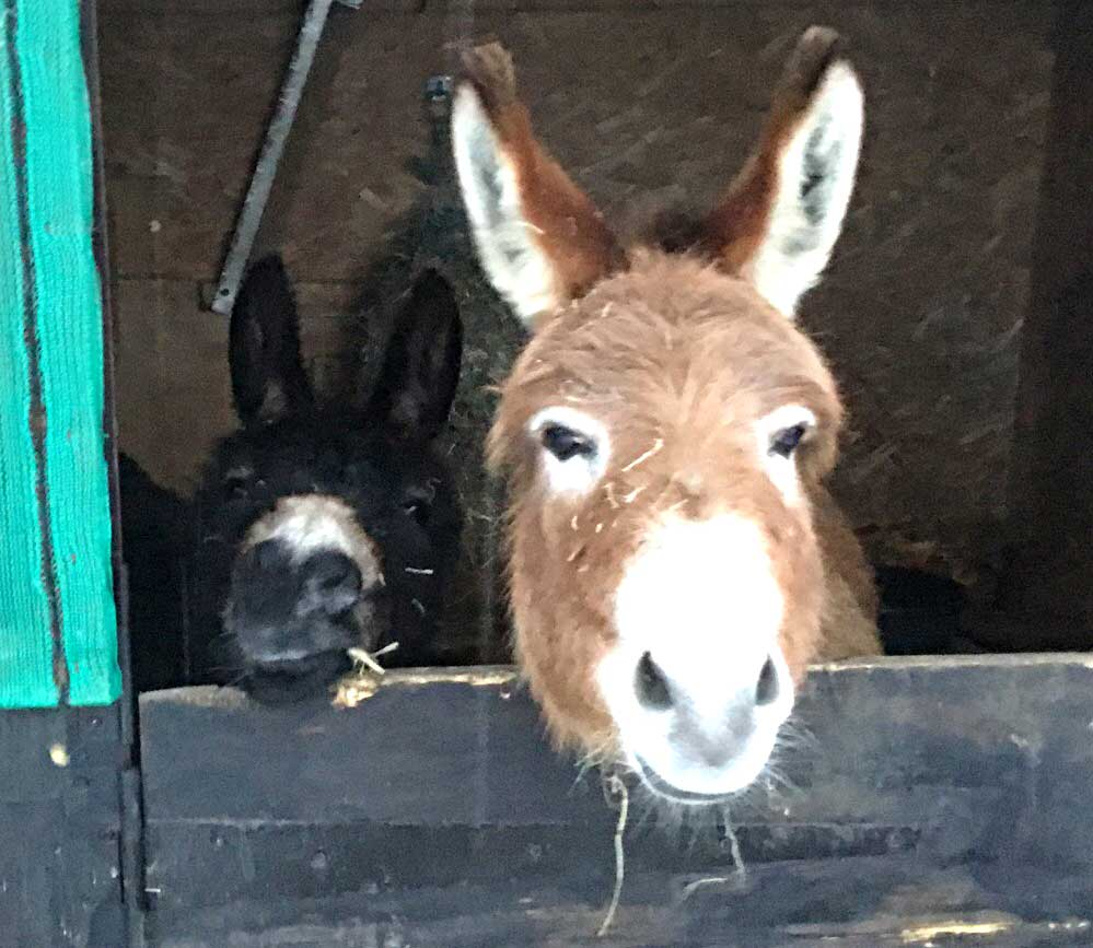 Miniature Donkeys in stable